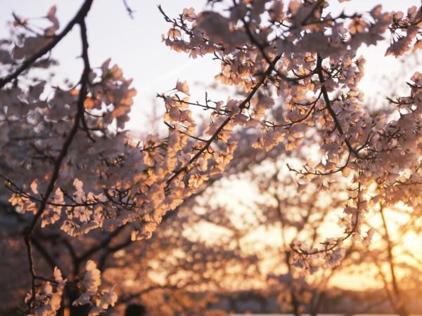 Cherry Blossom above Orange